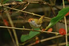 Common tailorbird. Looking for food in the forrest royalty free stock photography