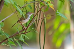Common tailorbird bird perching on a branch in the garden. Cute Common tailorbird bird with greenish upper body plumage perching on a branch in the garden stock photography
