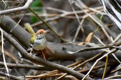 The common tailorbird. A Common Tailorbird Orthotomus sutorius on a pile of dry sticks stock images
