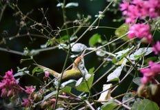 The common tailorbird. A Common Tailorbird Orthotomus sutorius on a pile of dry sticks royalty free stock image
