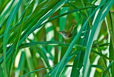 Common Tailorbird green reeds grass blades. Common Tailorbird dancing, moving amongst green reeds, grass blades, copy space stock image