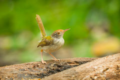 Common Tailorbird. (Orthotomus atrogularis) act on the wood in nature stock photo