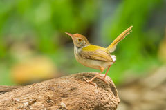 Common Tailorbird. (Orthotomus atrogularis) act on the wood in nature royalty free stock photography