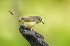 Common Tailorbird. (Orthotomus atrogularis) act on the wood in nature of Thailand royalty free stock photo