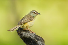 Common Tailorbird Stock Images