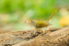 Common Tailorbird. (Orthotomus atrogularis) with worm in her mount in nature royalty free stock images