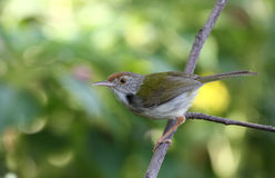 Common Tailorbird ( Orthotomus sutorius ). Background color green stock photos