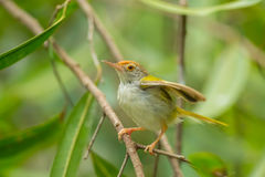 Common Tailorbird. (Orthotomus sutorius) on the branch in nature royalty free stock photography