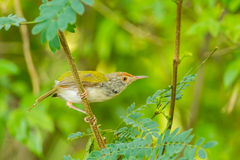 Common Tailorbird. (Orthotomus sutorius) on the branch in nature stock photos