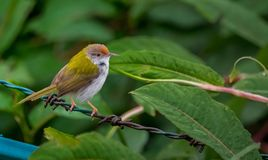 Common Tailorbird or the Orthotomus sutorius. The common tailorbird is a songbird found across tropical Asia. Popular for its nest made of leaves `sewn` together stock image