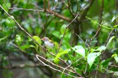 Common Tailorbird. (Orthotomus sutorius) in Thailand stock images