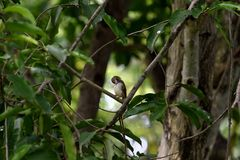 Common tailorbird. A common tailorbird preens its feather with its bill royalty free stock photos