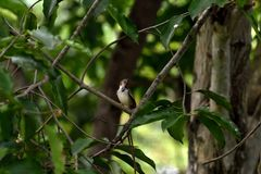 Common tailorbird. A common tailorbird preens its feather with its bill stock photos