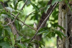 Common tailorbird. A songbird with brown crown , bright green ontop and creamy white underpart royalty free stock photo