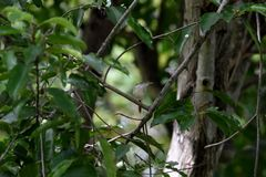 Common tailorbird. A songbird with brown crown , bright green ontop and creamy white underpart royalty free stock photos