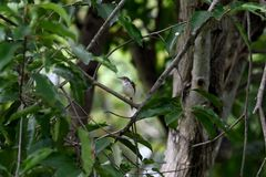 Common tailorbird. A songbird with brown crown , bright green ontop and creamy white underpart stock images