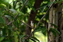 Common tailorbird. A songbird with brown crown , bright green ontop and creamy white underpart stock photography
