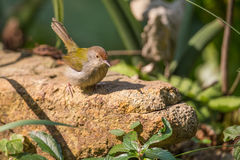 Common Tailorbird standing. On stone Royalty Free Stock Photos