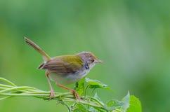 Common Tailorbird. Common Tailor bird ( Orthotomus sutorius ) holding on climber royalty free stock images