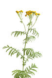 Common Tansy Royalty Free Stock Images
