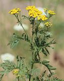 Common Tansy Tanacetum vulgare. Common Tansy is considered an invasive species in British Columbia. Although very pretty, this plant spreads easily, via seeds Stock Photography