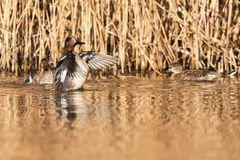 Common Teal, Teal, Anas crecca. Birds - Common Teal, Teal, Anas crecca Royalty Free Stock Photography