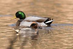 Common Teal, Teal, Anas crecca. Birds - Common Teal, Teal, Anas crecca Stock Photography