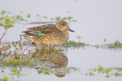 Common Teal , Anas crecca - Female Royalty Free Stock Photos