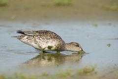 Common Teal Royalty Free Stock Photo