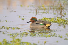 Common Teal , Anas crecca - Male. Side view of a Common Teal , Anas crecca Royalty Free Stock Photography