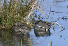 Common Teal Royalty Free Stock Image
