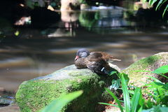 Common Teal or Eurasian Teal (Anas crecca). Bird, Common Teal or Eurasian Teal (Anas crecca stock photo