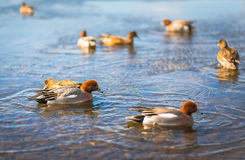 Common Teal or Eurasian Teal Anas crecca in Japan Stock Photo