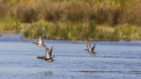 Common Teal In Flight Royalty Free Stock Photo