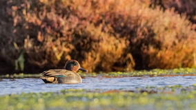 Common Teal. Male common teal Anas crecca  is swimming in the pond Royalty Free Stock Image