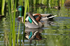 Common Teal and Mallard among reeds Royalty Free Stock Photography