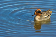 Common Teal on water. A Common Teal floats calmly surrounded by circular wave rings Royalty Free Stock Image