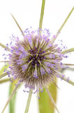 Common Teasel Stock Image