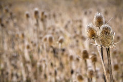 Common Teasel, Dipsacus fullonum Stock Photography