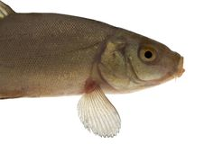 Common tench, head and body - isolated. Live fish photo in aquarium Royalty Free Stock Images