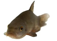 Common tench, headfirst - isolated Stock Photo