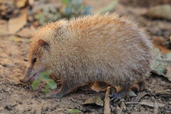 Common tenrec Stock Photo