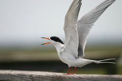 Free Common Tern Stock Image - 1263251