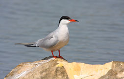 Free Common Tern Stock Image - 16840231