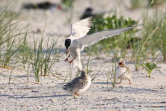 Common tern. At Nickerson beach in Long Island New York mother with babies Royalty Free Stock Photos