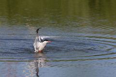 Common Tern Royalty Free Stock Image
