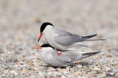 Common tern Stock Image