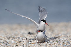 Common tern. Courtship and copulation of common tern Stock Images