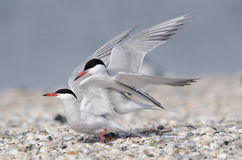 Common tern. Courtship and copulation of common tern Royalty Free Stock Photo