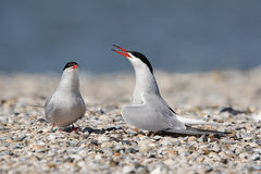 Common tern. Courtship of two common tern Stock Image